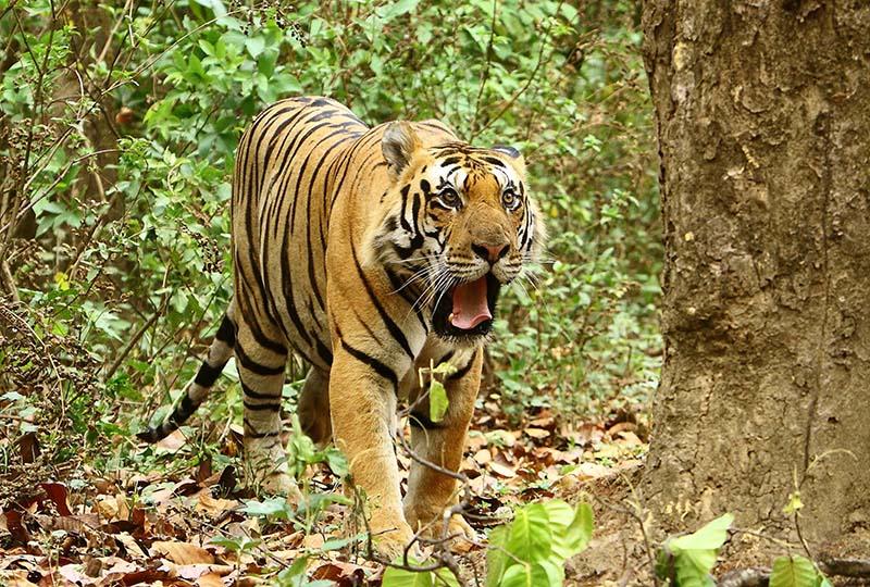 2015-06-16-1434448625-460016-Tigermale02MukkiKanhaMay2015.jpg
