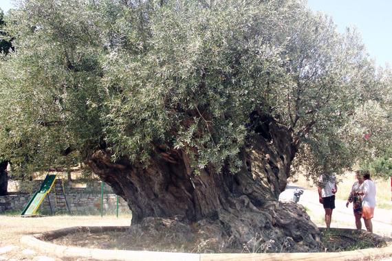 2015-06-17-1434576850-499802-olivetree.jpg