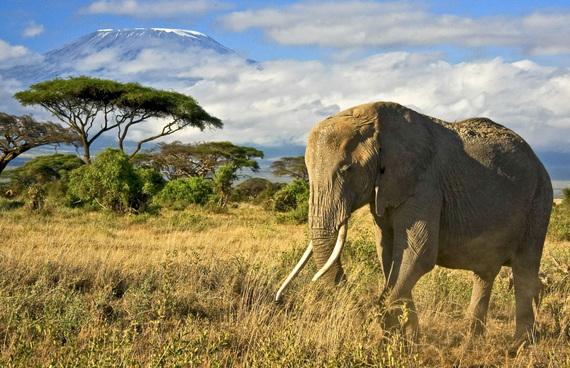 2015-06-18-1434648508-3762600-ElephantwithMt.Kilimanjaro_15692898.jpg