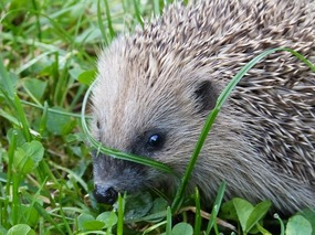 2015-06-19-1434697477-2083075-hedgehog57901_640.jpg