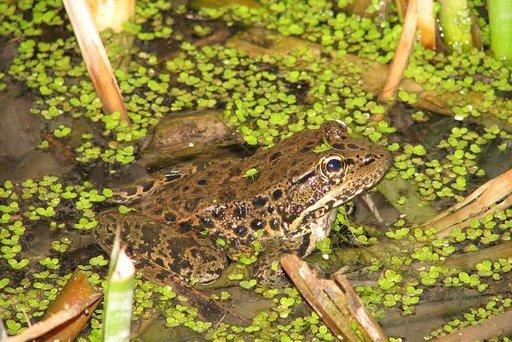 2015-06-19-1434730803-1955365-rsz_frog.jpg