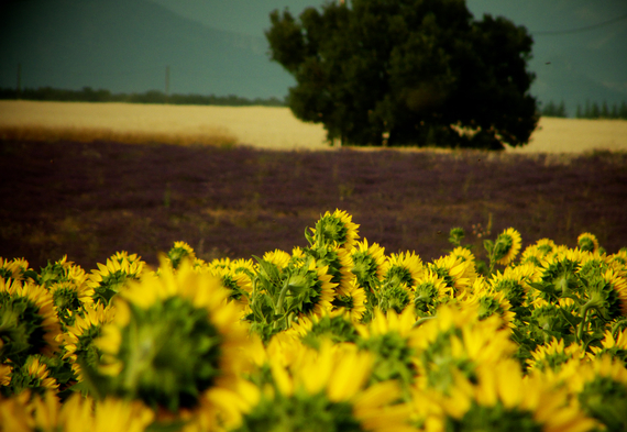 2015-07-10-1436515430-2000615-Sunflowers.jpg