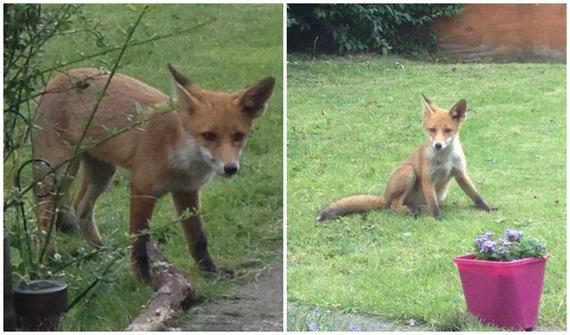 2015-07-13-1436796885-1296150-foxhuntingban.jpg