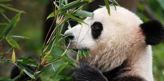 2015-07-13-1436815379-4906934-panda.jpg