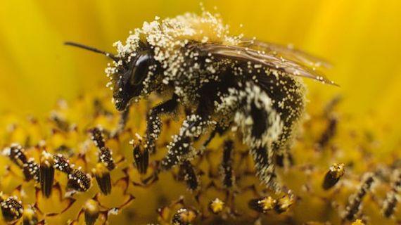 2015-07-15-1436982883-8768718-bee_pollen11.jpg