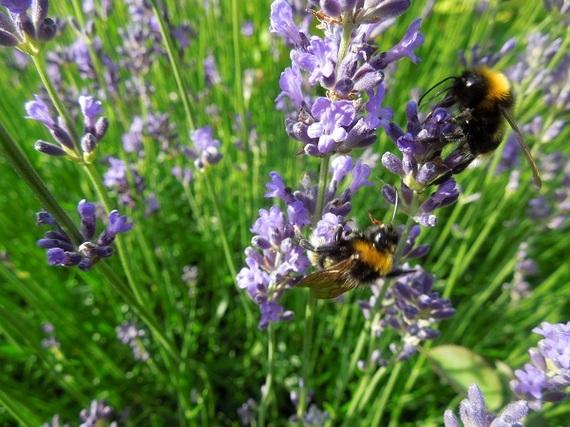 2015-07-22-1437578254-5577316-lavenderbees.jpg