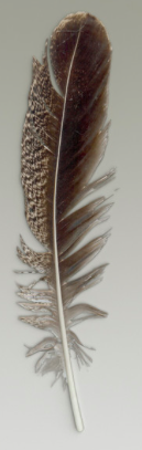 2015-07-25-1437836021-471429-feather.png