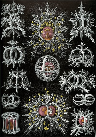 2015-07-27-1437964610-5437606-graphic2aHaeckel_Stephoidea.jpg