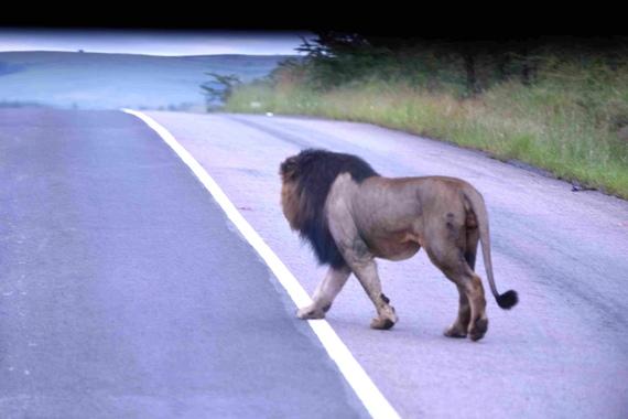 2015-07-31-1438372502-7810584-LionSouthAfricaCSafina.jpg