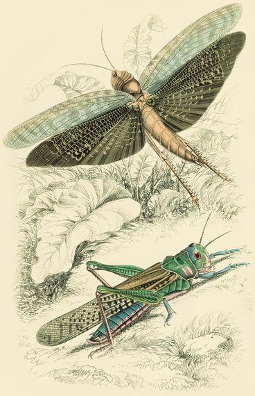 2015-08-06-1438889743-174575-GrasshopperLocust.jpg