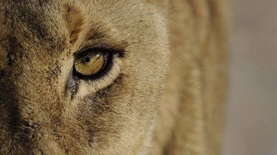 2015-08-07-1438932838-2097277-Lion13.jpg
