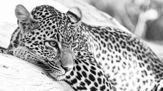 2015-08-07-1438933508-272609-Leopard25.jpg