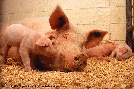 2015-08-07-1438960612-9974887-Sow_and_five_piglets.jpg