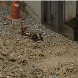 The mother Mallard shepherds her family away after their rescue by CHP officers. Photo from CHP
