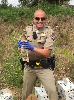Release day! A CHP officer releases the duckling his fellow officers rescued. Photo by Alison Hermance
