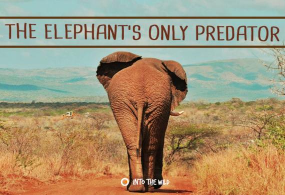 2015-08-13-1439458033-3279533-elephant.png