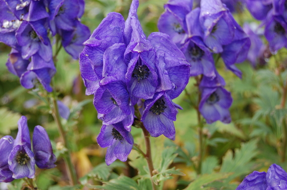 2015-08-18-1439923779-2316897-Monkshood.jpg