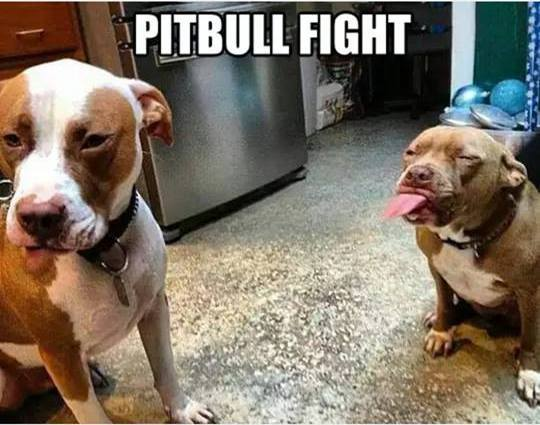2015-08-23-1440371792-3945122-pitbullfight.jpg