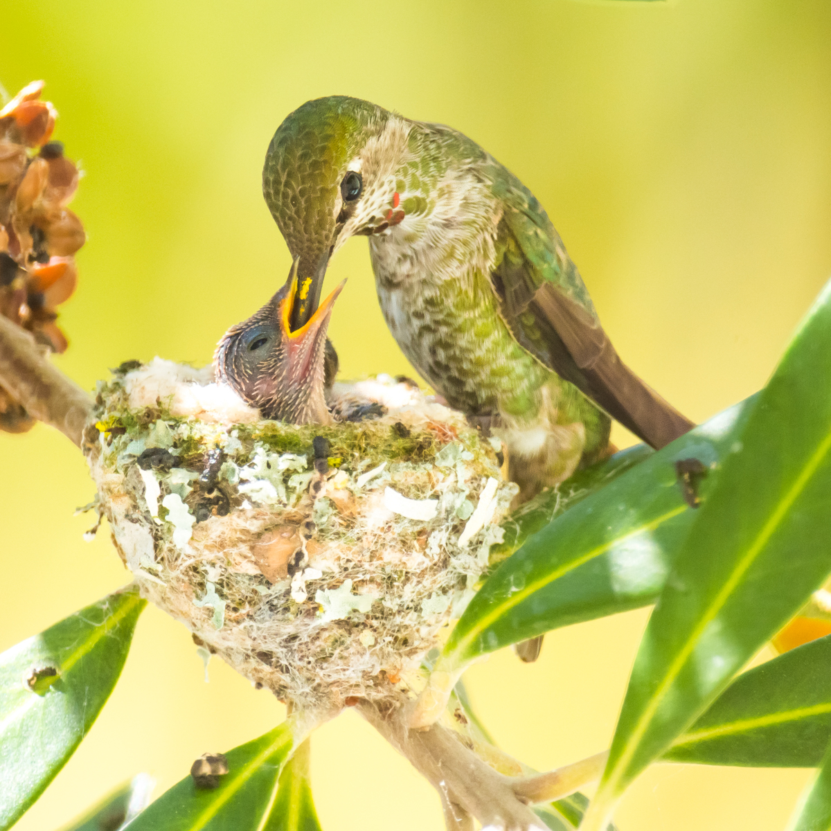 Hummingbirds Benefit From Nesting Near Hawks | THE WILDLIFE SOCIETY