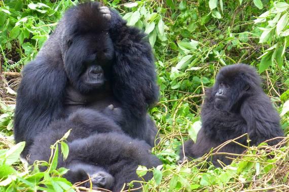 2015-09-01-1441069307-2074415-Gorillas.jpg