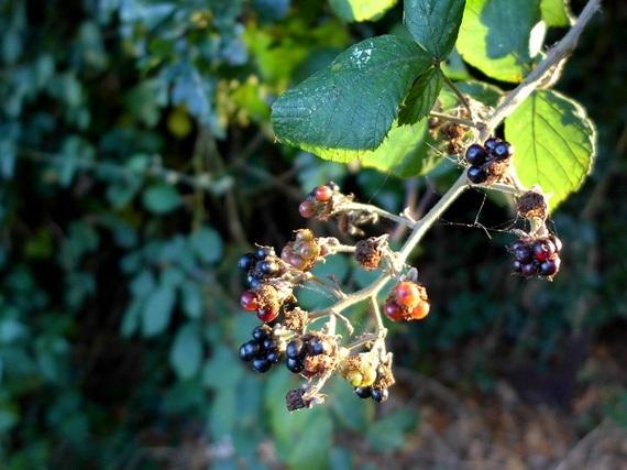 2015-09-10-1441911266-9854538-blackberriesCopy.jpg