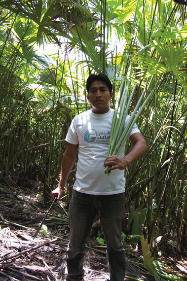 2015-09-15-1442312919-5626489-toquilla_harvester.jpg