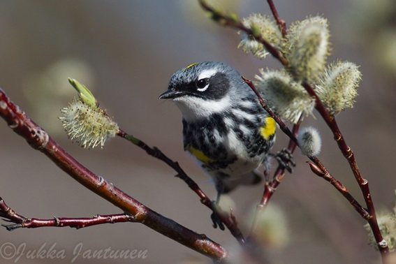 2015-09-15-1442324344-2169027-Yellowrumpedwarbler.jpg