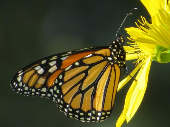 2015-09-15-1442333996-3747863-butterfly_RE.JPG