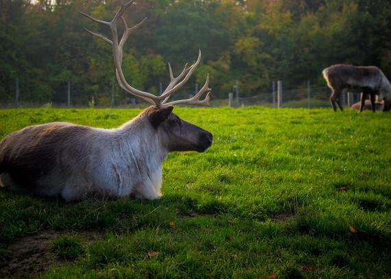 2015-09-25-1443214921-9653603-reindeer.jpg