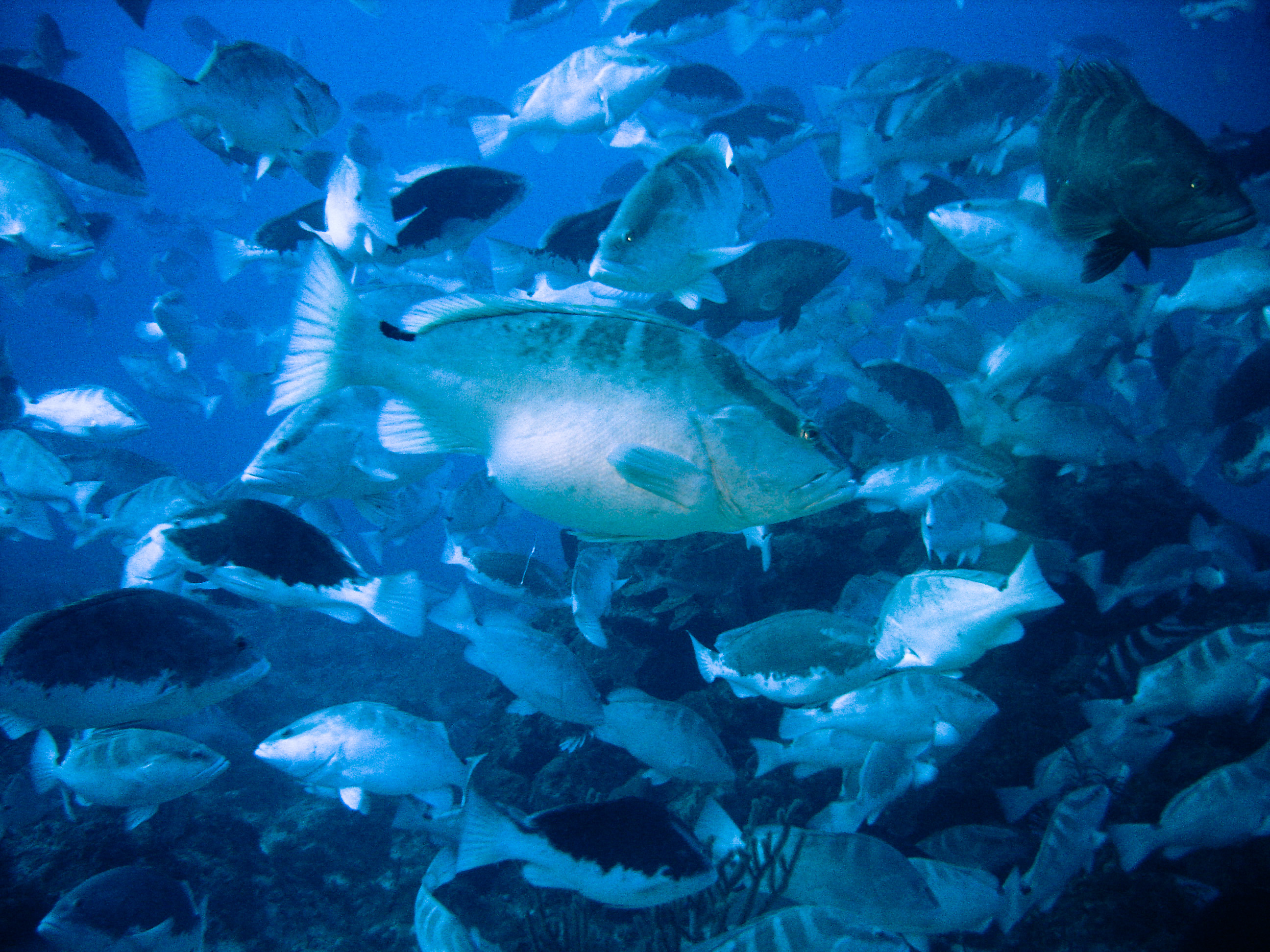the nassau grouper Marine life of the bahamas scientific name nassau grouper epinephelus striatus description the nassau grouper belongs to the seabass family of fi sh all seabass have strong, stout.