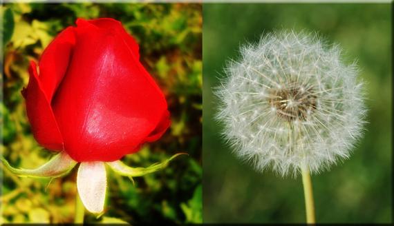 2015-10-12-1444658307-9765580-roseweed.jpg