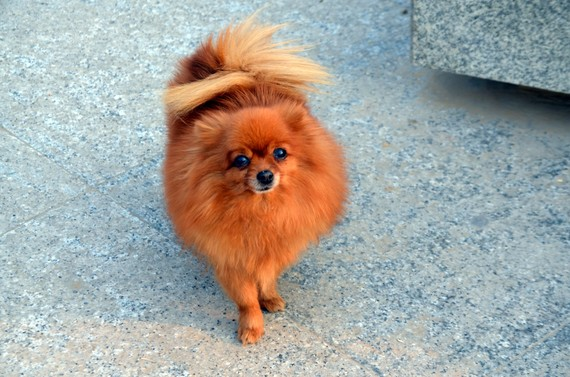 7 Lessons I Learned From My Pomeranian Dog Huffpost