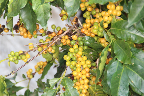 2015-10-18-1445181930-4362239-Yellosandgreencoffeecherries.jpg
