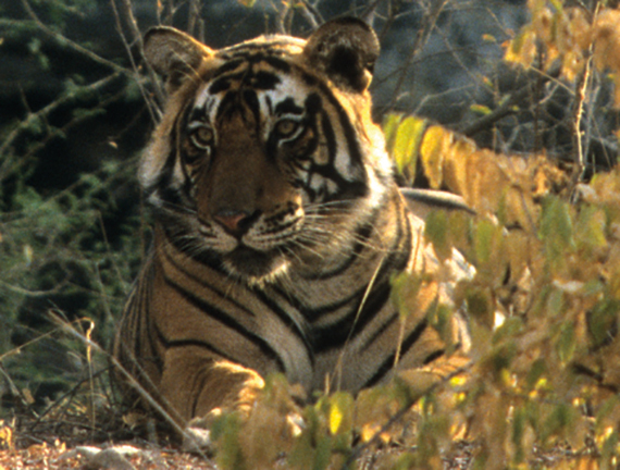 2015-11-02-1446461245-5773790-TigerRanthambhore.jpg