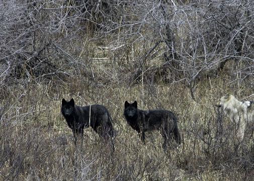 2015-11-03-1446519974-9531516-Wolves2.jpg