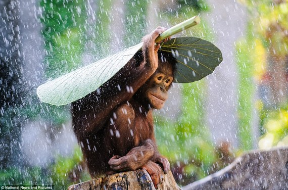 2015-11-04-1446602004-1266200-orangutanumbrella.jpg