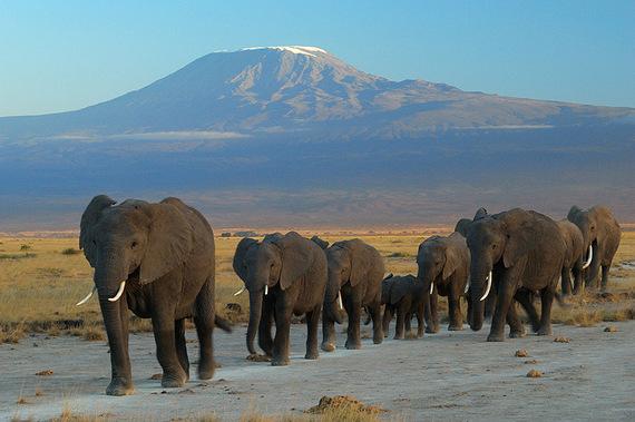 2015-11-07-1446904409-4764873-Elephants_at_Amboseli_national_park_against_Mount_Kilimanjaro.jpg