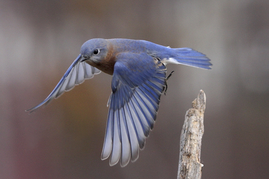 Bluebirds From Heaven Huffpost