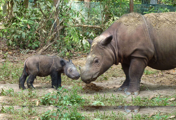 2015-11-11-1447209945-2243242-Sumatran_rhinoceros_four_days_old.jpg