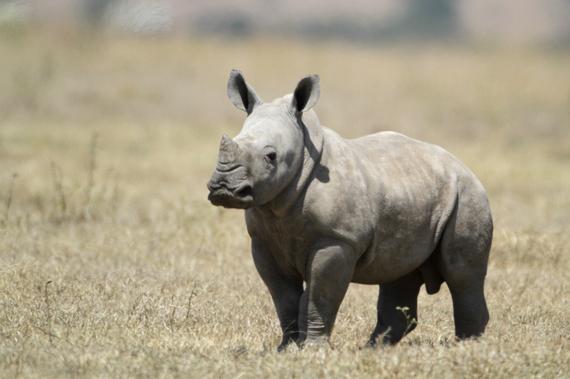 2015-11-11-1447211736-2202507-White_Baby_Rhino.jpg