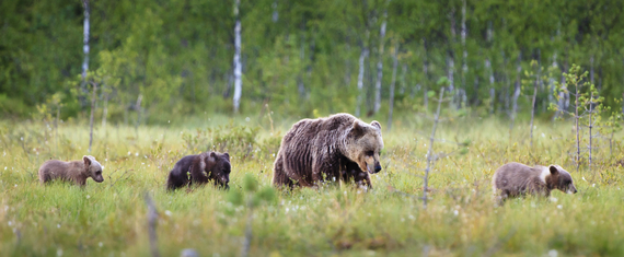 2015-11-12-1447286891-1178291-Grizzly_Bear_Mother_Cubs.jpg