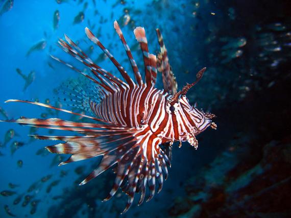 2015-11-12-1447321969-4595211-lionfishlarge.jpg