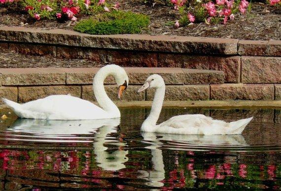 2015-11-17-1447744466-3792575-swans.jpg