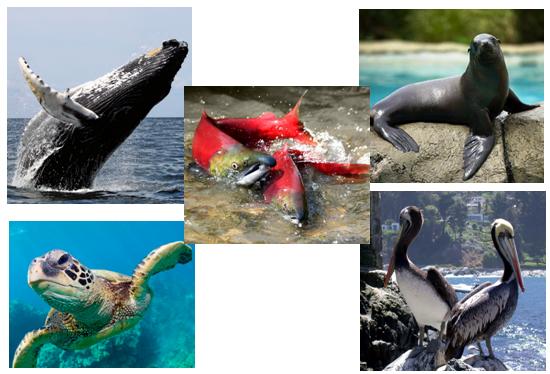 2015-11-17-1447784468-6544582-whaleseaturtlesealionpelicansalmoncollageccr284.png