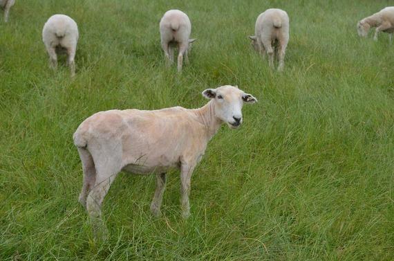 2015-11-22-1448219812-785502-sheep477788_1920.jpg