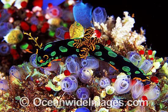 2015-11-24-1448389240-1004062-colorfulseaslugnudibranchSourcewww.oceanwideimages.comccr293.jpg