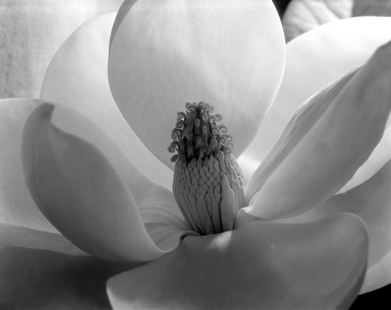 2015-11-26-1448544242-1330592-MagnoliaBlossom1925.jpg