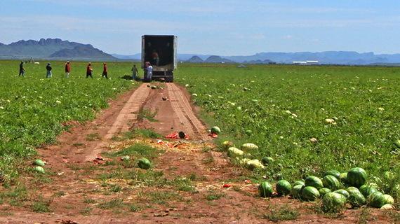 2015-12-01-1448995978-3185288-watermelonharvestnearmennonitemexicanfarmareaSourcebigbendnow.comccr305.jpg