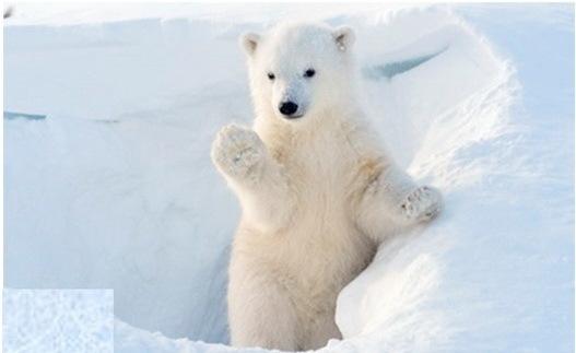 2015-12-01-1448996297-756634-polarbearcubwave527ccr300.jpg