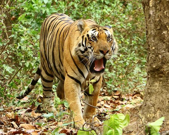 2015-12-03-1449177135-507772-TigerJMK.jpg